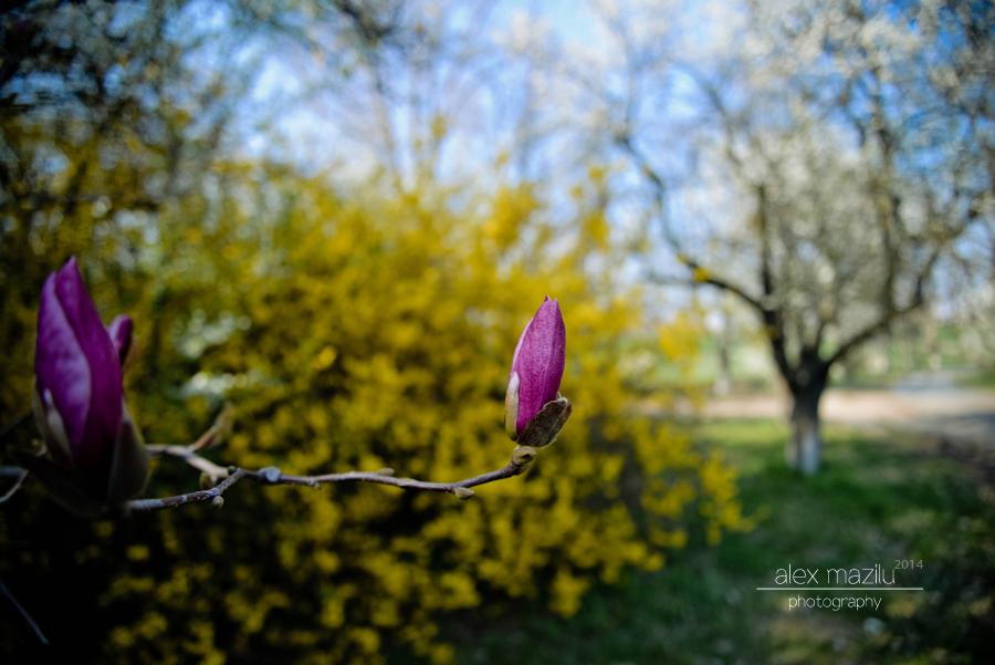 Povestea magnoliei...